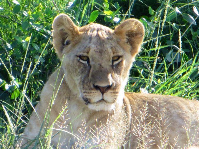 Löwen hautnah