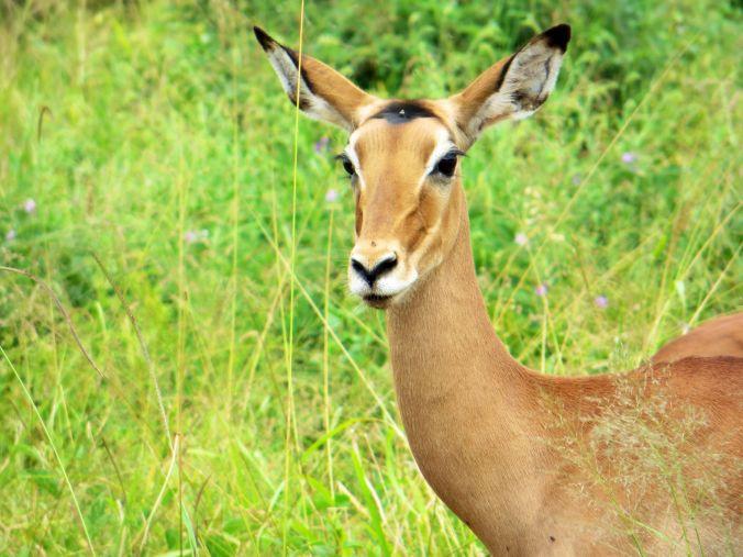 Wunderschönes Impala